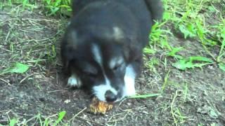 Goberian Puppies Hybrid Of Golden Retriever & Siberian Husky