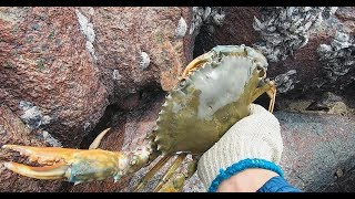 开海后海边大螃蟹全跑出来,阿文抓到一只巨大老螃蟹,得值不少钱