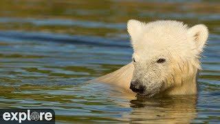 Siku & his Polar Bear Family powered by Explore.org