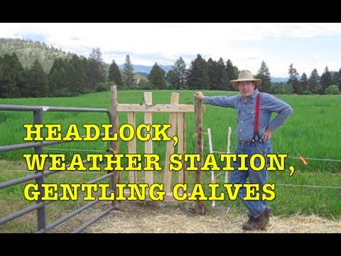 Cow Headlock, WSU Weather Station, Gentling Calves (27May2018)