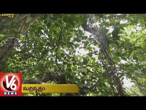 Telangana Yatra || Heritage And Culture Of Karimnagar District || Paidimadugu Banyan Tree | V6 News