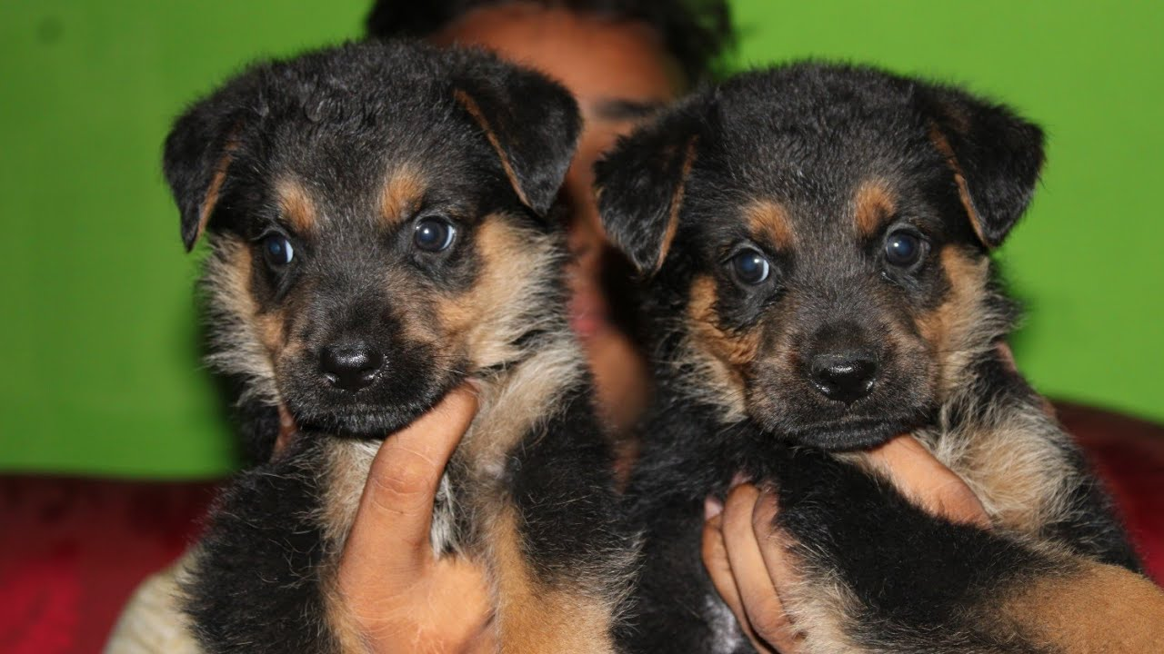 German Shepherd puppies available LockDown offer hai , Bhagalpur ,Bihar , India ,pet shop near me