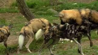 New Painted Dogs Arrive - Cincinnati Zoo