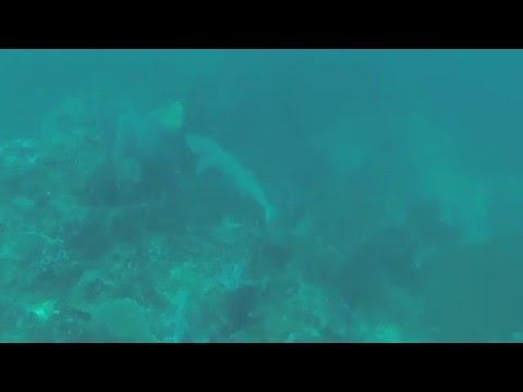Whitetip reef shark spotted!! - Diving with Scuba Planet Philippines