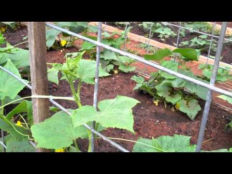 cattle-panel-trellis---my-front-yard-garden