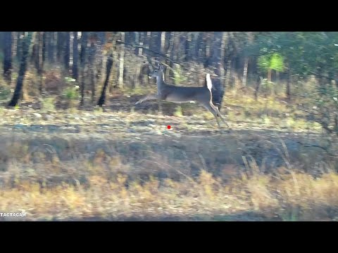 Public Land Deer Dog Hunt Compilation    Close Encounters And A MISS!