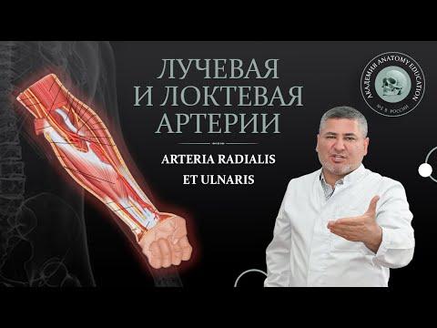 Артерии верхней конечности. Лучевая и локтевая артерии