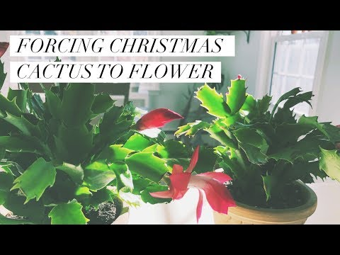 forcing your Christmas cactus to flower