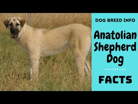 Anatolian Shepherd dog (Kangal). All breed characteristics and facts about Anatolian Shepherd dog