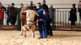 Показ КРС, Симментальский бык. Золотая Осень-2010. Часть1