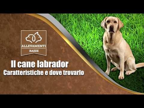 Il cane labrador - Caratteristiche e dove trovarlo - Documentario di Allevamenti Razze