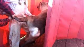 Abattage de rennes / Reindeer slaughtering