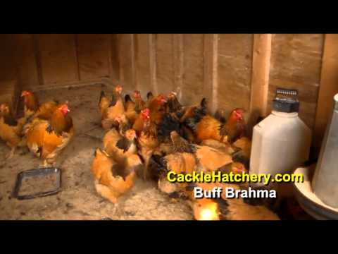Buff Brahma Chicken Breed (Breeder Flock)