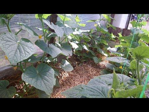 Выращивание огурцов томатов