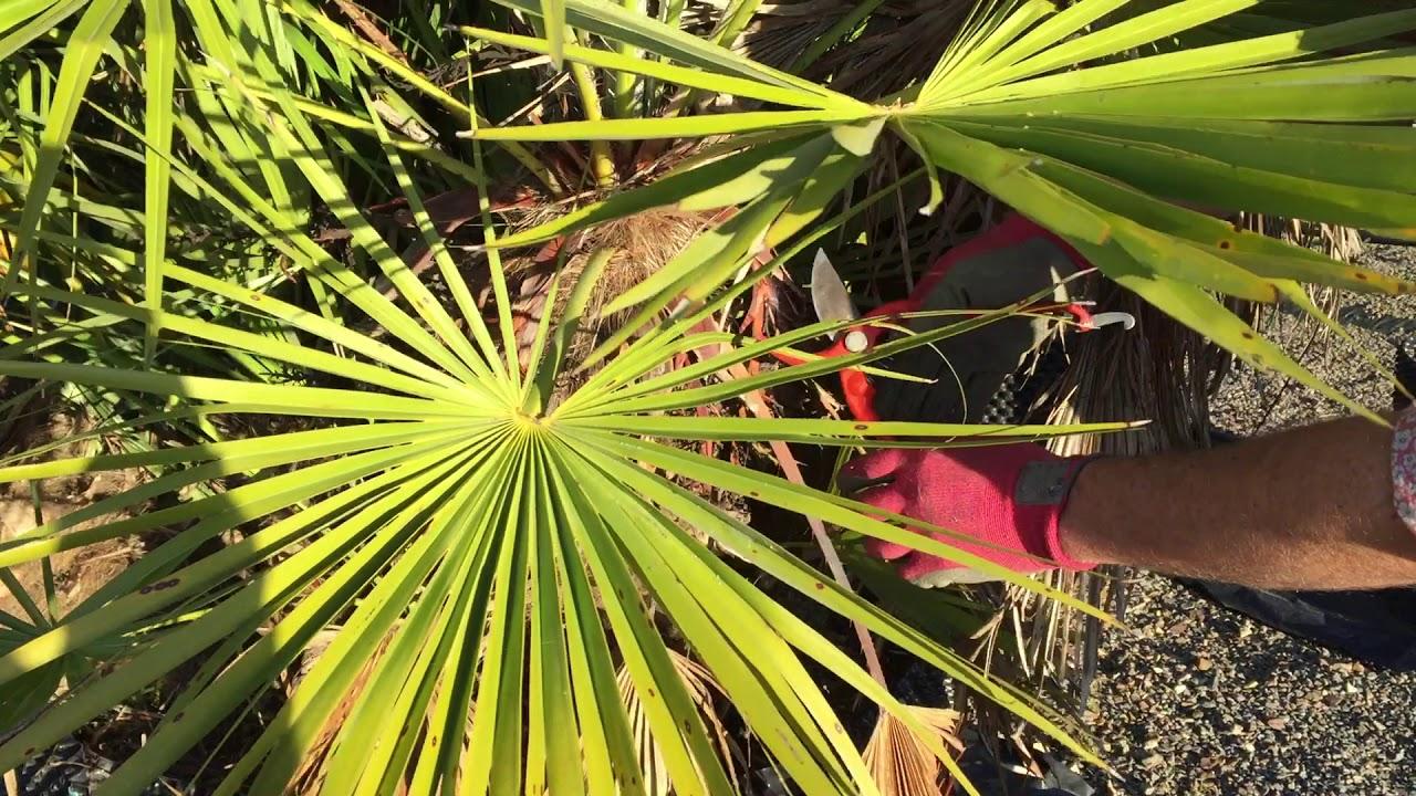 Tailler un palmier chamaerops humilis youtube - Quand tailler un palmier ...