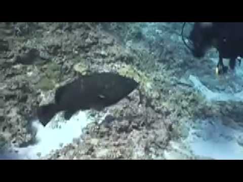 Hawaiian Grouper at Kure Atoll