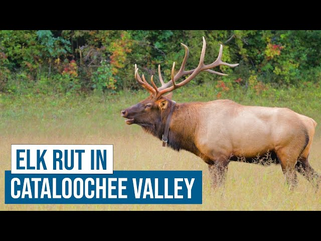 Elk Rut in Cataloochee Valley, Great Smoky Mountains National Park