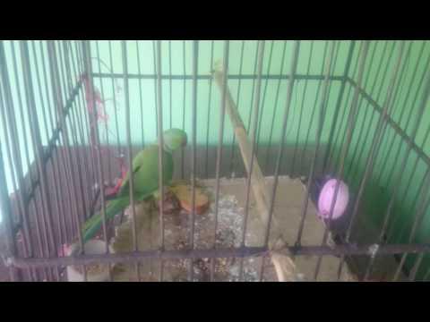 parrot try to talking  tiya pakhi