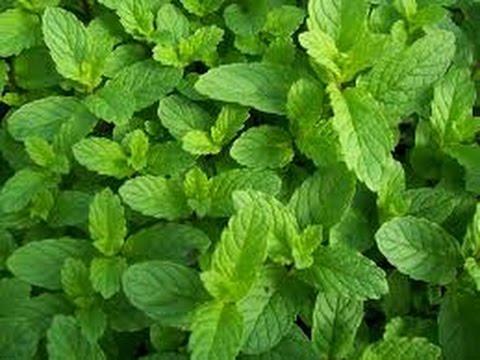 Image result for صور لنبات النعناع