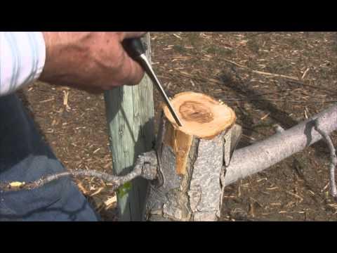 How to Bark Graft an Apple Tree