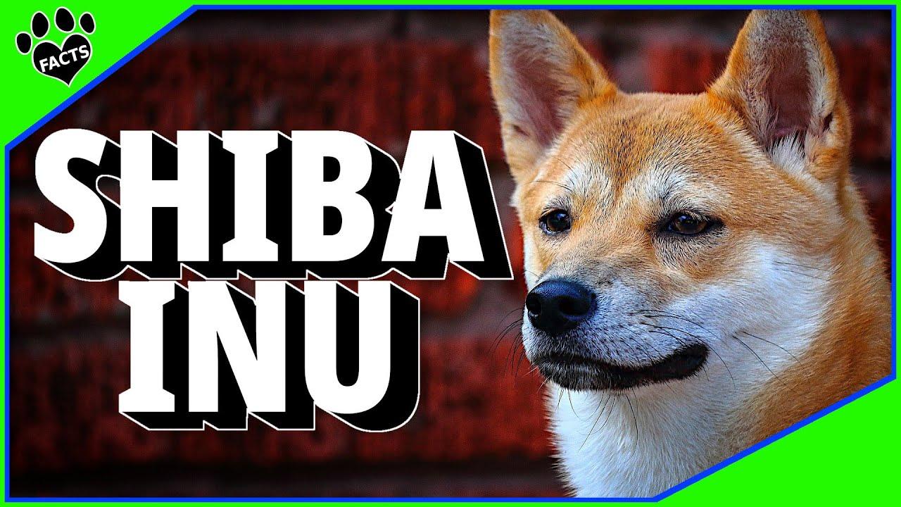 Dogs 101: Shiba Inu Japanese Dog 柴犬 - Animal Facts