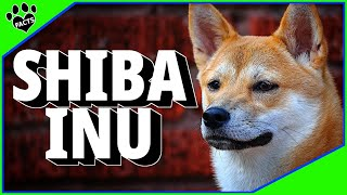 Shiba Inu Dogs 101 - A Difficult Dog Breed