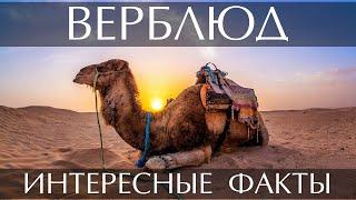 Интересные факты о Верблюде