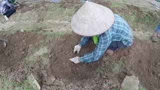 Tháng mấy nên trồng nho? Cách trồng cây nho rễ trần.