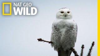 Silent Snowy Owl Attack   Alaska's Deadliest