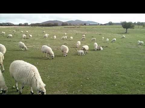 Rebaño de ovejas Churras