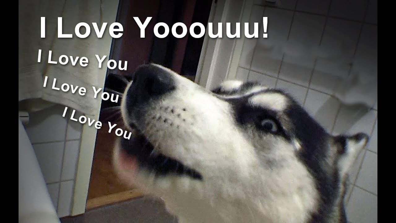 I Love You Husky Puppy Talking Siberian Husky...