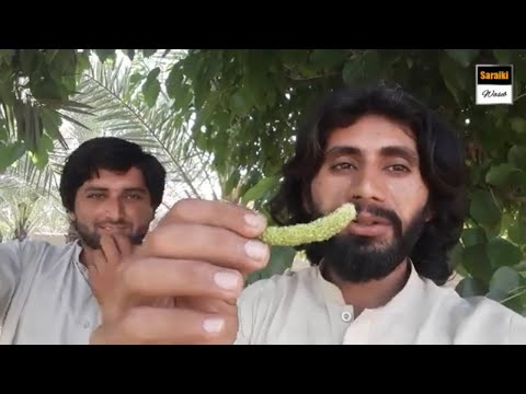35690773c0 Amazing Health Benefits of Mulberries || Visit To Mulberry Trees|| Shatoot