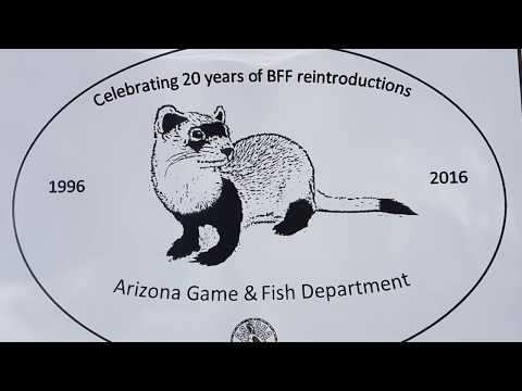 A Milestone for Endangered Black-footed Ferrets