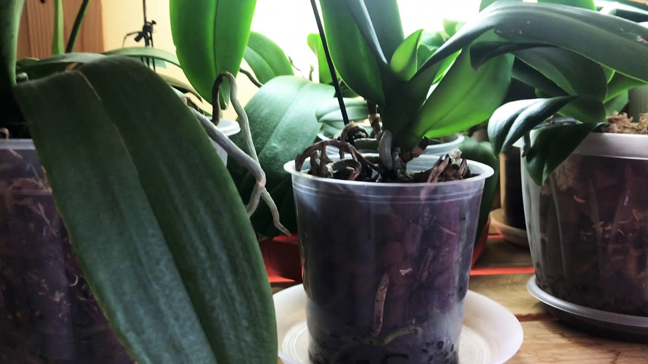какой водой поливать орхидею фаленопсис