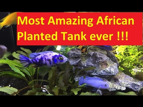 African Cichlid Planted Tank AMAZING Coffee Table Design !