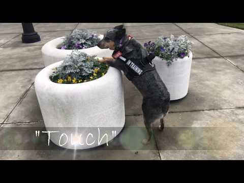 Australian Cattle Dog (Blue Heeler) Before and After Obedience Training Video