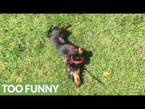 Lazy dog refuses to walk, has to be dragged on leash