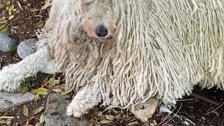 KOMONDOR DOG MOMENTS 2020