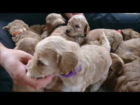 Australian Labradoodle pups Zoe 4 weken