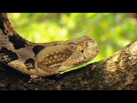Florida's Venomous Snakes 05/10 - Canebrake Rattlesnakes