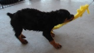 Rottweiler Puppy In Prey Drive Building (puppy Is For Sale)