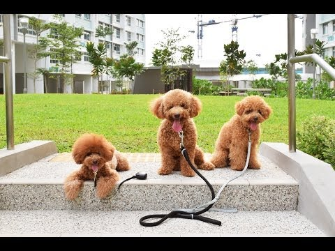 Amber Toy Poodle - Mocca, Gucci, Fluffy & Amber 2