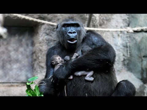 b45c9f03ad68 Mother Gorilla cannot say Goodbye to her Child and still Tries to Wake her  Up in Zoo