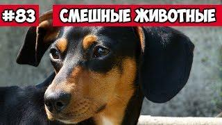 Смешные животные - такса и горка   Bazuzu Video ТОП подборка 83, декабрь 2017