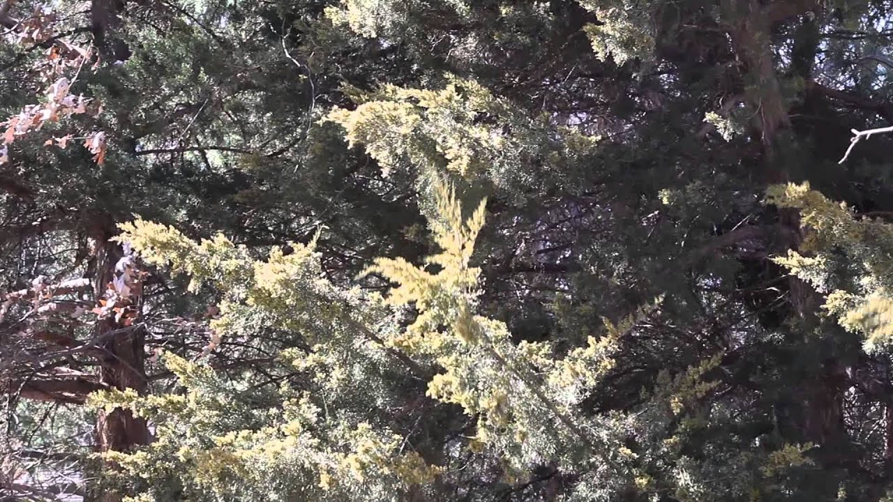 clouds of pollen blow off juniper trees in overland park  kansas in march 2015