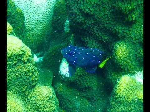 Yellow Tail Damselfish Juvenile Vs Adult Bonaire