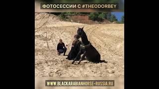 Единственный в России вороной трюковой арабский жеребец ТЕОДОР БЕЙ для фотосессий