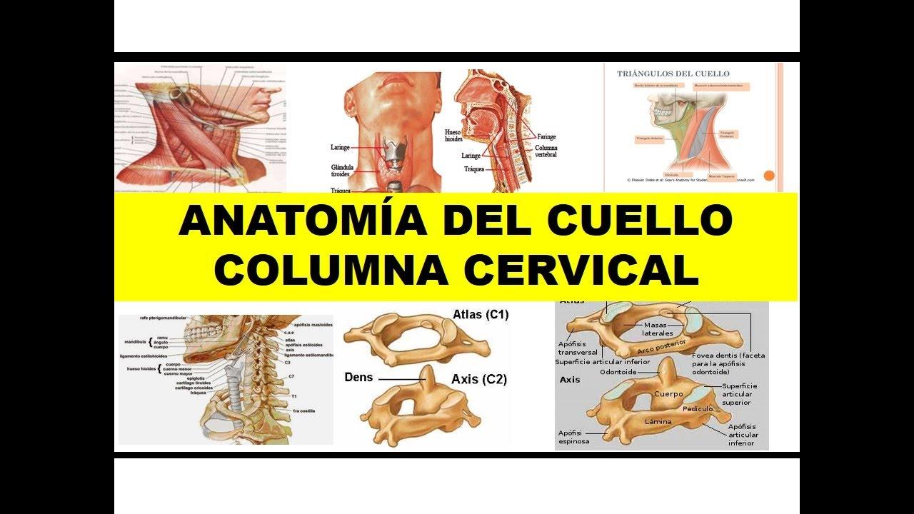 ANATOMÍA DEL CUELLO - COLUMNA CERVICAL\