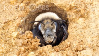 This Bee Builds Sandcastles at the Beach | Deep Look