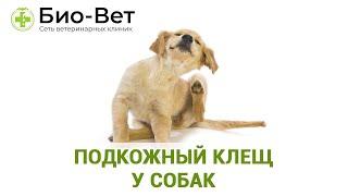 Подкожный клещ у собак. Ветеринарная клиника Био-Вет.